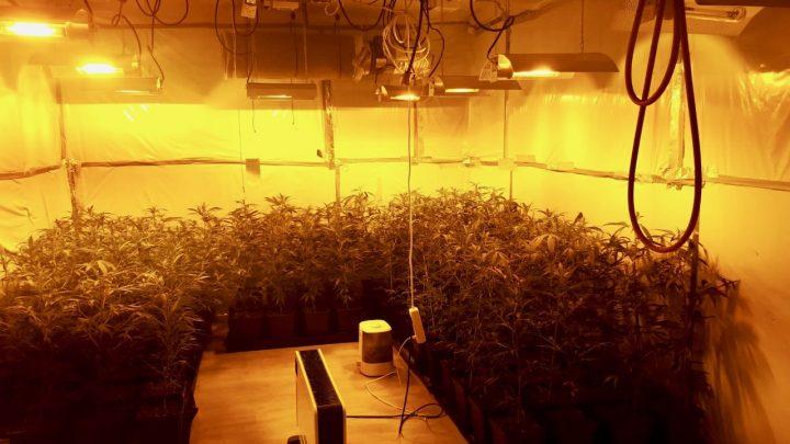 Professionelle Marihuana-Plantage ausgehoben